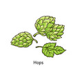 hops plant drawing - green blossoming hop flower vector image