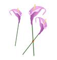 Purple Anthurium Flowers or Flamingo Flowers vector image vector image