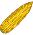 corn cob without leaves vector image