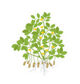 peanut plant plant with roots and tubers flowers vector image