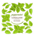 peppermint elements set vector image
