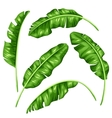 Banana leaves set Image of decorative tropical vector image vector image