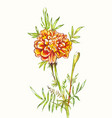 watercolor marigold isolated on white hand-drawn vector image