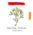 medicinal herbs of china velvetleaf vector image vector image