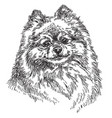 small pomeranian hand drawing vector image vector image
