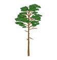 cartoon evergreen pine tree vector image vector image