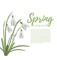 Snowdrop flowers isolated on white vector image vector image