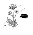 valeriana officinalis drawing isolated vector image vector image