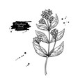 cinchona quinine drawing isolated medical vector image