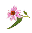 Echinacea purpurea eastern purple coneflower or pu vector image