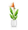 strelitzia reginae in flowerpot vector image