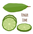 finger lime cartoon style vector image vector image