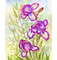 purple irises on meadow background watercolor vector image vector image