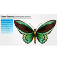 Green Birdwing butterfly vector image vector image