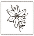 beautiful lily flower closeup vector image