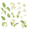 jasmine flower branch realistic graphic set vector image vector image