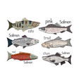 set of different salmon fish isolated on white vector image