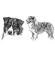 australian shepherd on white vector image vector image