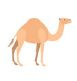 funny cute dromedary camel isolated on white vector image vector image
