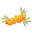 sea buckthorn berries vector image vector image