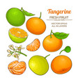 tangerine fruit set vector image vector image
