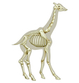 Giraffe skeletal system vector image