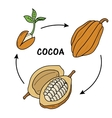 The life cycle of cocoa vector image