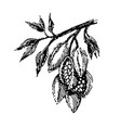 branch with cocoa beans plant hand draw vector image