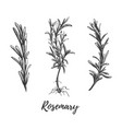 botanical hand drawing rosemary vector image vector image
