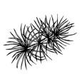 Pine or cedar tree branch ink vector image