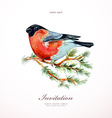 watercolor painting bullfinch on branch pine vector image