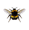 bumblebee from a splash watercolor colored vector image