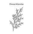 chinese arborvitae thuja orientalis medicinal vector image vector image
