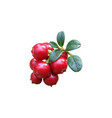 cowberry colorful isolated on vector image