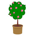 Fruit tree in a brown pot pink flowers green