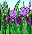 Violet iris hand-drawn on green background for vector image vector image