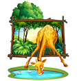 Giraffe drinking water in the jungle vector image vector image