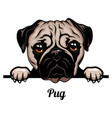 pug - dog breed color image a dogs head vector image vector image