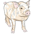 funny Pot-bellied pig vector image vector image