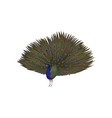 detailed icon of peacock with plumage out vector image vector image