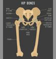 human hip bones vector image vector image