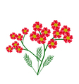 Red Yarrow Flowers or Achillea Millefolium Flowers vector image vector image