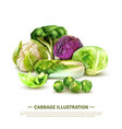 realistic cabbage vector image vector image