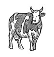 engraving hand drawn spotted cow isolated vector image