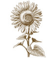 engraving antique sunflower vector image