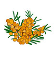 isolated branch of sea buckthorn with ripe orange vector image vector image