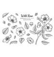 set wild rose flower and leaf hand drawn vector image vector image