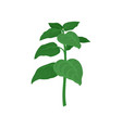 branch of oregano with green leaves aromatic vector image vector image