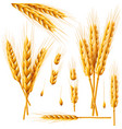 realistic bunch of wheat oats or barley isolated vector image