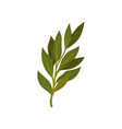 branch of green bay leaves aromatic seasoning for vector image vector image